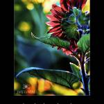 """""""Backlit Sunflower with Adams Quote"""" by jimcrotty"""