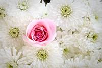 Pink Rose in Daisies