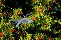 Little Blue Heron 4456