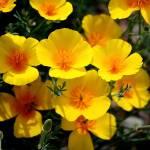 """Yellow Wild Desert Flowers"" by JewelsOfDenile"