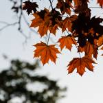 """Maple leaves in autumn"" by MatteoCozzi"