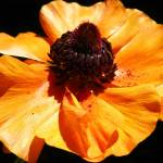 """Orange Poppy Flower"" by vpicks"