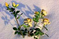 Yellow roses in the snow