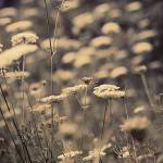"""Queen Annes Lace"" by maxygreat"