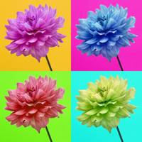 Dahlia Bright Colored Wall Art