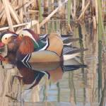"""""""Mandarin Ducks at Battle Point"""" by griffinart"""