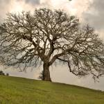"""Old Oak Tree: Texas Hill Country"" by PaulHuchton"