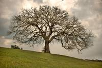 Old Oak Tree: Texas Hill Country
