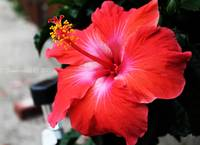Hibiscus of Red
