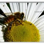 """Honey Bee"" by flowerchild6482"