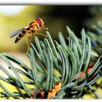 """""""Hoverfly"""" by flowerchild6482"""