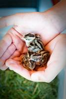 Gentle Hands Holding Baby Quail