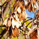 """Maple Tree Seeds Hang From Tree in Fall"" by Amberwatsonwilliams"