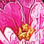 """Pink skirt A Pink peonie up close."" by ArtbyMaryJaneGM"