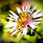 """Two Honeybees on a Purple Flower"" by Amberwatsonwilliams"
