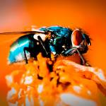 """Colorful Fly with Orange Background - Macro"" by Amberwatsonwilliams"