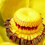 """""""Yellow Pond Lily"""" by daitengu23"""