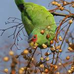 """""""Foraging"""" by parrots"""