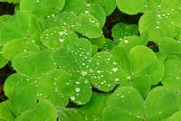 Raindrops on Sorrel