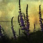 """Purple Loose Strife"" by PeterLabrosse"