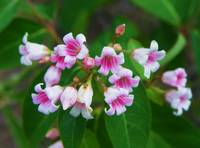 Spreading Dogbane Wildflower