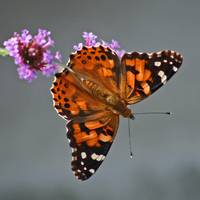 Buterfly  American Painted Lady