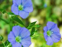 Blue Flax Flower