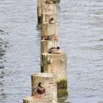 """""""Ducks on poles"""" by MatteoCozzi"""