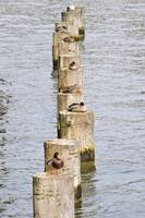 Ducks on poles