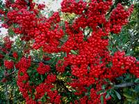Pyracantha in Mid-Winter