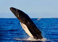 Humpback Whale Breaching out of the water - 15703