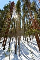 Lodgepole pines 01519