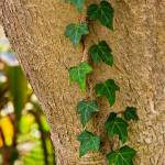 """Vine on a tree 09139"" by RJ"