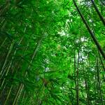 """Bamboo forest 08542"" by RJ"