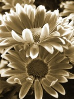 Chrysanthemum in Sepia