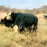 """""""Moo Cow Munch"""" by RCdeWinter"""