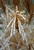 Frosty Fountain Grass