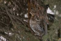 Grouse in Tree