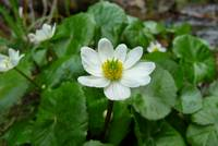 White Marsh Marigolds