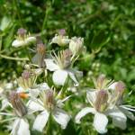 """Western White Clematis"" by redvi0let"