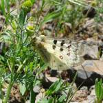 """Rocky Mountain Parnassian on Pineapple Weed"" by redvi0let"