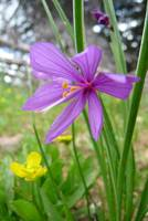Purple-eyed grass