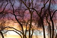 Colorful Silhouetted Trees 37