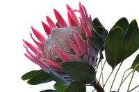 King Protea by terencedavis floralart