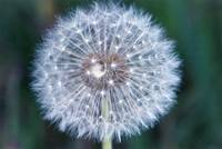 BLOW THE DANDILION