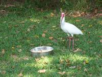 An Ibis Breaks For Lunch