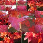 """Japanese Maple Collage"" by DonStruke"