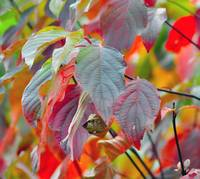 Dogwood's Autumn Leaves