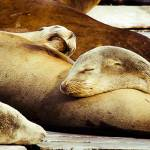 """Sealions Asleep"" by photoshimona"