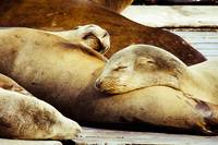 Sealions Asleep